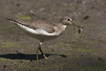Solitary Sandpiper in early September.
