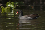 Common Gallinule in early May on spring migration.