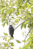 Male Blue Grosbeak perched in Black Cherry (Prunus serotina) in May on spring migration.