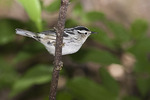 First spring female Black-and-white Warbler in early May on spring migration.