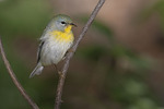 Female Northern Parula in mid-May on spring migration.