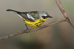 First spring male Magnolia Warbler in mid-May on spring migration.