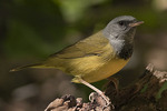 Male Mourning Warbler in mid-May on spring migration.