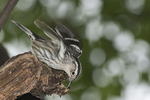 First spring female Black-and-white Warbler in mid-May on spring migration.