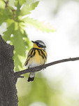 Male Magnolia Warbler perched in a Turkey Oak (Quercus cerris) in mid-May.