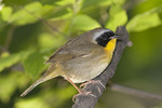 Male Common Yellowthroat in late May on spring migration.
