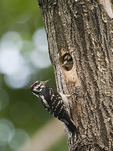 Adult male and nestling Hairy Woodpeckers at nest in late May.