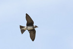 Female Purple Martin in flight in late May.