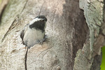 Adult Black-capped Chickadee at nest in late May.
