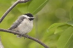 Black-capped Chickadee fledgling near the nest in late May.