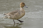 Female Northern Pintail walking on ice in mid-February. .