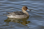 Female Northern Pintail in early March.