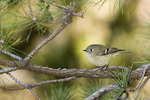 Male Ruby-crowned Kinglet on fall migration in November.