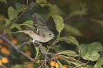 Ruby-crowned Kinglet foraging in a Crab Apple in mid October on fall migration.