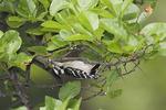 Fledgling Downy Woodpecker in mid-June.