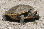 Female Diamondback Terrapin in June. This female has left the water to look for a place to lay her eggs.
