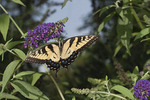 Eastern Tiger Swallowtail nectaring on Butterfly Bush in early August.