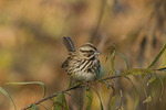 Song Sparrow. Late October.