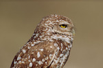 Burrowing Owl (Athene cunicularia) close-up in April.