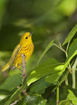 Adult male Yellow Warbler in late June.