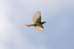 Great Crested Flycatcher in flight in late June.