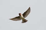 Adult Cliff Swallow in flight.