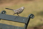 Northern Mockingbird perched on a  bench.