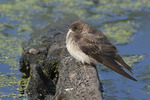 Northern Rough-winged Swallow resting at the edge of a pond in late April.