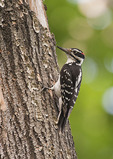 Adult male Hairy Woodpecker in late May.