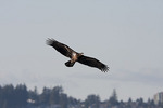 Juvenile Bald Eagle in flight in early March.
