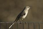 Northern Mockingbird in late November.