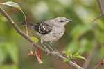 Juvenile Northern Mockingbird in early August.