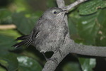 Fledgling Gray Catbird.