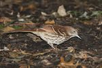 Brown Thrasher foraging in leaf litter in early October on fall migration.