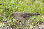 Immature male Brown-headed Cowbird in early October.