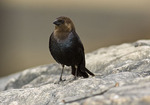 Male Brown-headed Cowbird in early May.