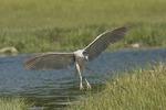 Adult Black-crowned Night-Heron landing in mid-June.