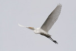 Great Egret in flight in late March.