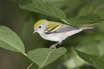 First fall Chestnut-sided Warbler in late August on fall migration.
