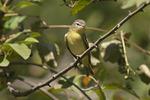 Philadelphia Vireo on fall migration in early September.