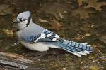 Blue Jay bathing in early September.