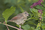 Immature female Northern Cardinal feeding on Pokeweed berries in early September.