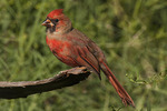 Immature male Northern Cardinal molting into adult plumage in mid September.