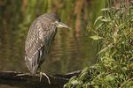 Immature Black-crowned Night-Heron in mid September.