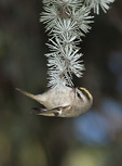 Golden-crowned Kinglet in mid September on fall migration. 