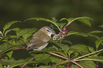 Red-eyed Vireo foraging in Pokeweed in late September on fall migration.