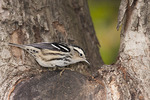 First fall female Black-and-white Warbler in late September on fall migration.