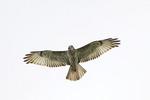 Common Buzzard in flight in October on fall migration.