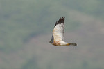 Female Chinese Sparrowhawk in mid October on fall migration.