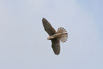 Female Common (Eurasian) Kestrel in flight in October on fall migration. 